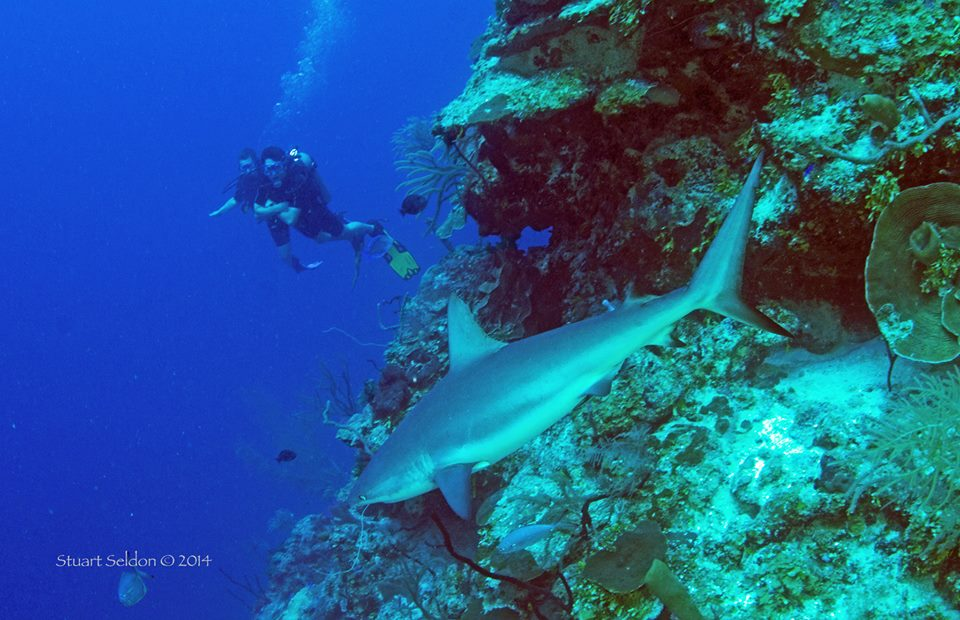 Half moon Caye wall, near Blue Hole, Caribbean Reef Shark © Stuart Seldon 2014